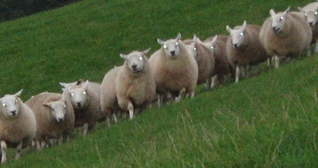 19 Surveys Which Prove That A Large Chunk Of The Population Is Made Up Of Totally Clueless Sheeple Sheeple Photo by Andrew R Tester 460x244