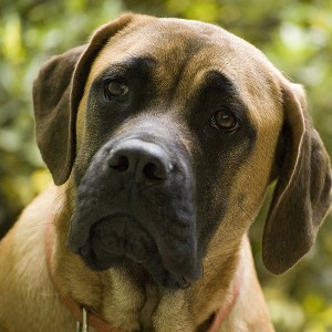 Mastiff - Photo by Fotosuabe