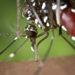 Asian Tiger Mosquito - Public Domain