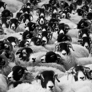 Sheep In A Crowd - Public Domain