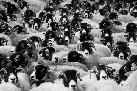 Sheeple - Public Domain